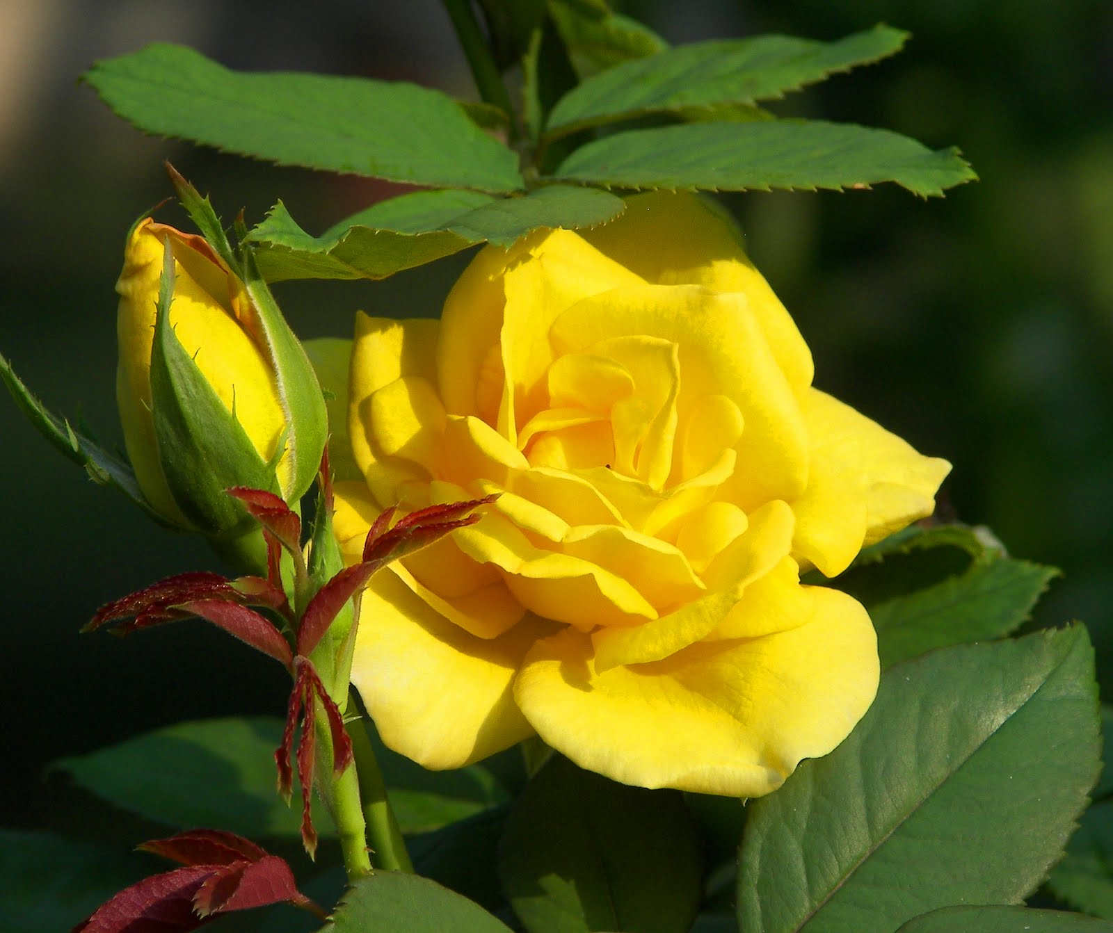 Light yellow roses meaning we purchased a yellow tree