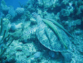 Sea Turtle with it's own Ramora!