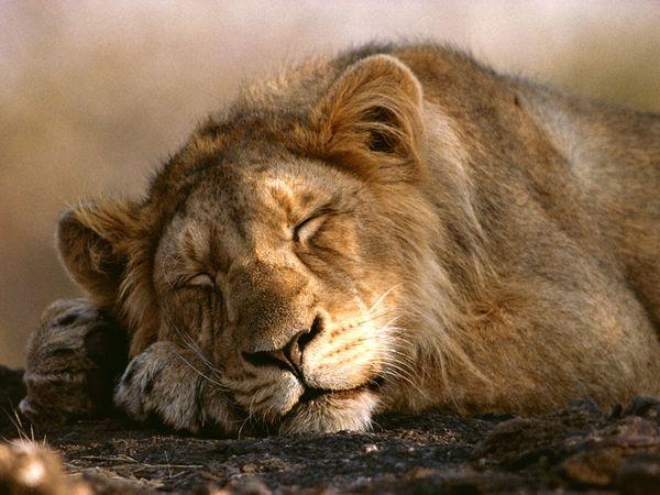 wallpaper lion. african lion wallpaper. lions