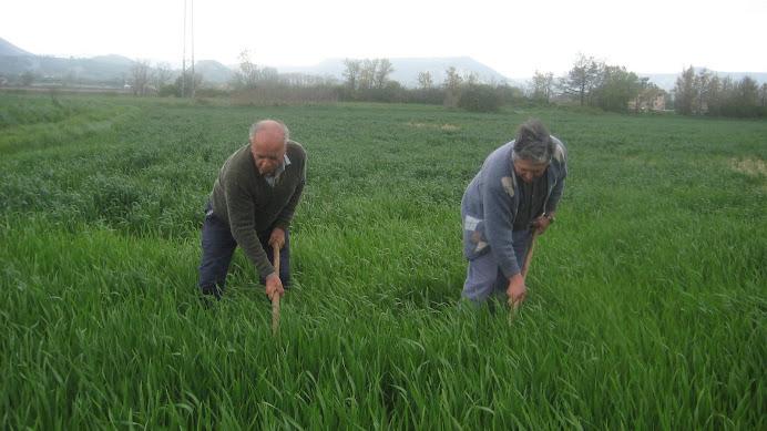 Ton del Verdaguer i Joan de la Fàbrica herbejant el camp de blat