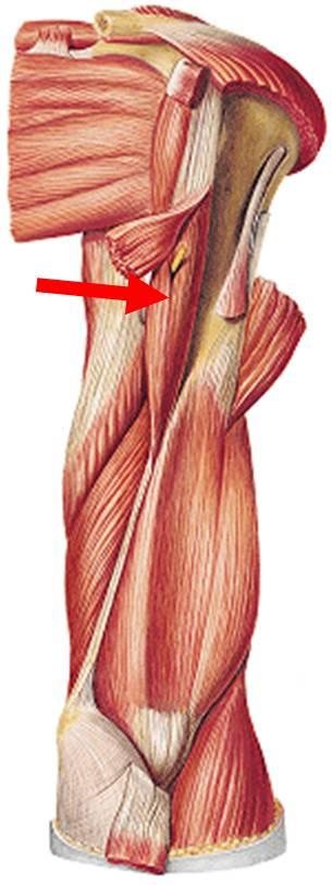 Anatomía Humana: Miología del Miembro Superior