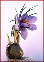 bulbe ou cornu en fleur