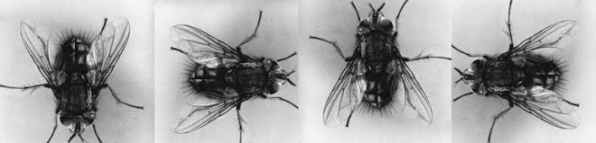 Des mouches