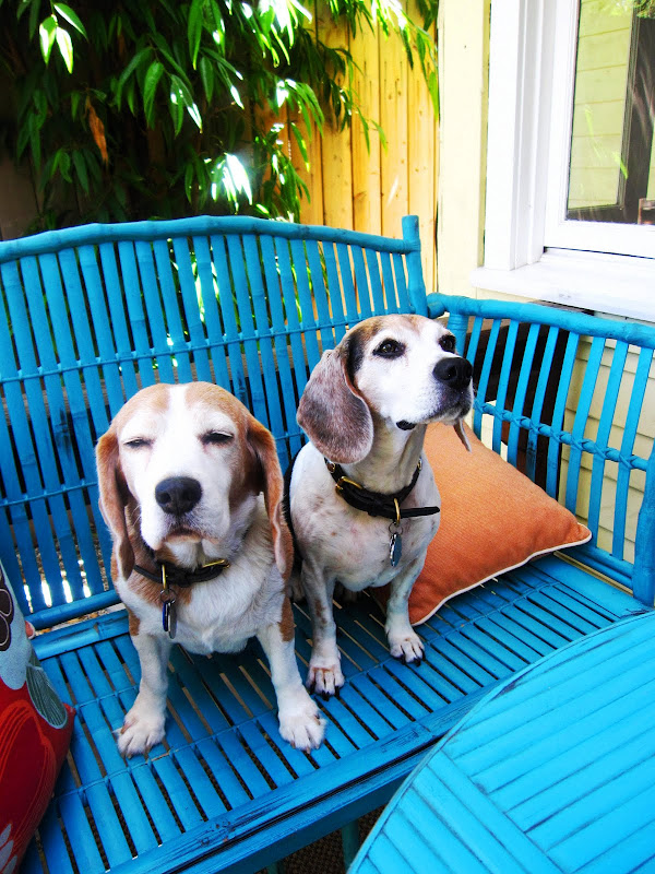 Two beagles on a turquoise blue rattan bench in Venice Beach, CA