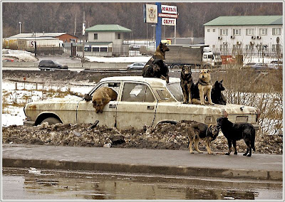 Dogs hanging out on a abandoned car