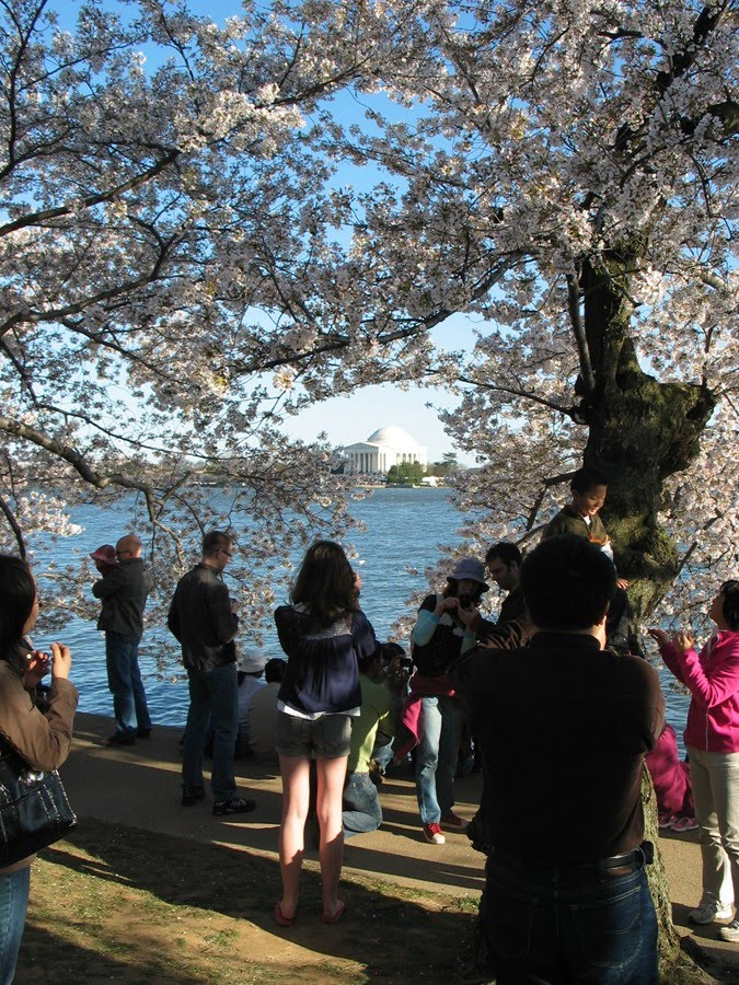 cherry tree blossom festival. Cherry tree blossoms that