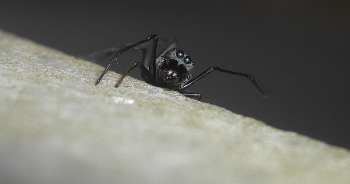 Photography me ant mimic spiders for How to keep spiders out of your bedroom