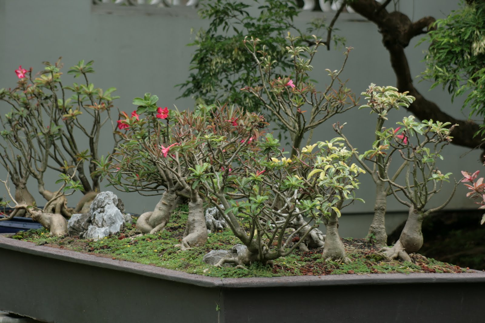 Bodhi Bonsai Chennai India Adenium Arrangement In Chinese