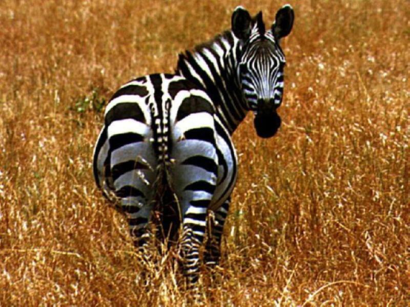 Fabuloso Animais Selvagens: A Zebra LS83