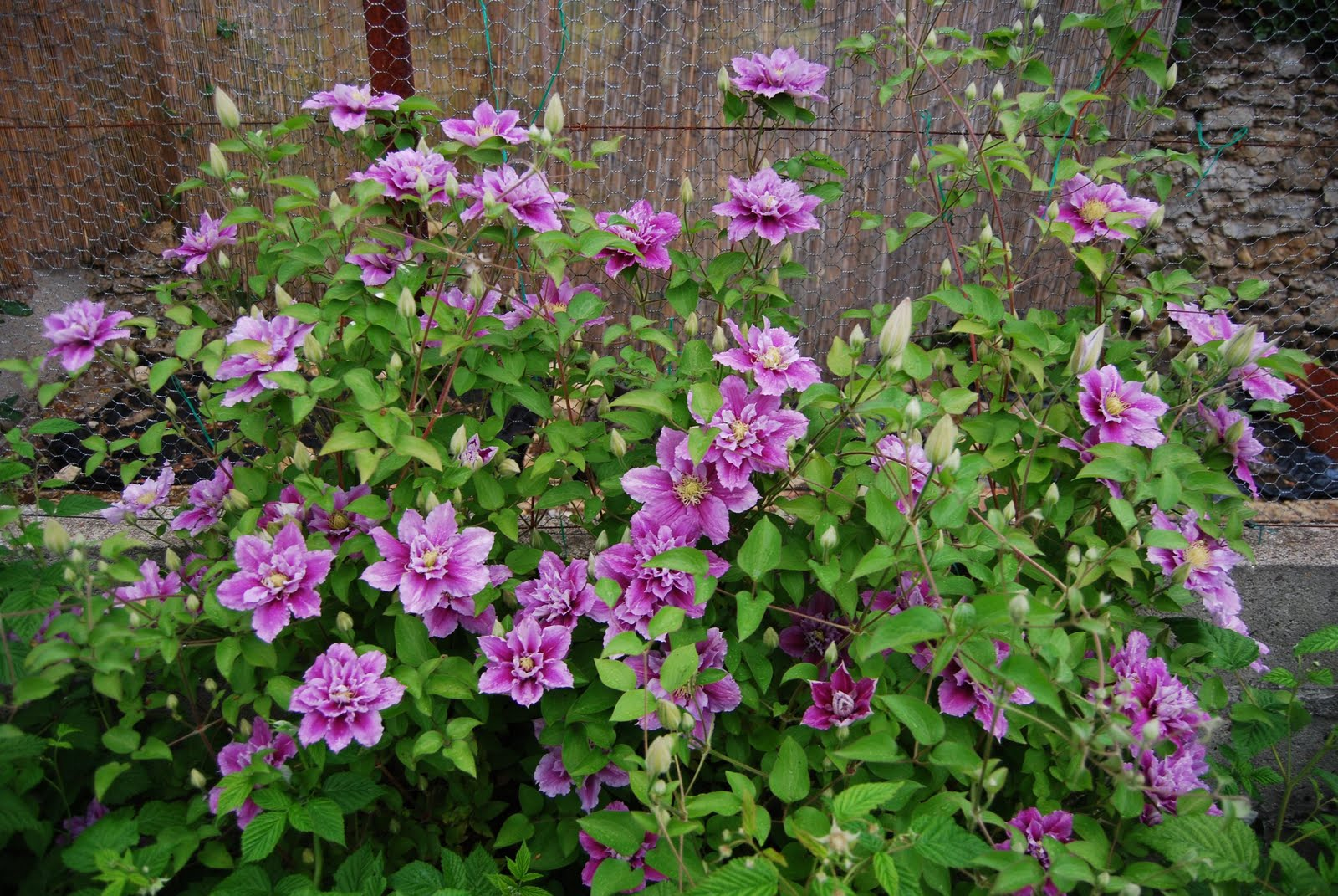 Le blog du jardin de maminou des fleurs des couleurs for Fleurs jardin printemps