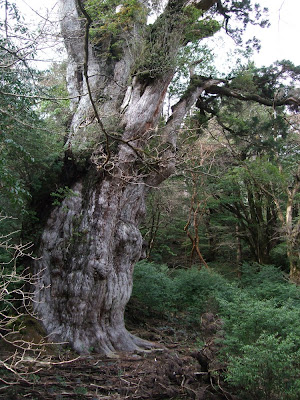 the oldest tree in japan