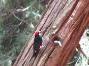 Woodpecker on Redwood