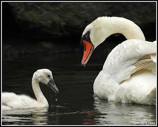 St Helens Swan