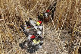 nido de aguilucho cenizo con 4 pollos anillados y con las marcas alares puestas