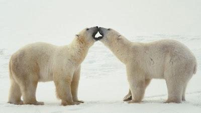 beso de osos polares amorosos