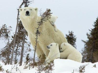 foto de osa polar mama con sus ositos en la nieve