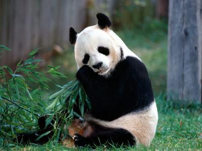 foto de un adorable oso panda comiendo bambú como un oso