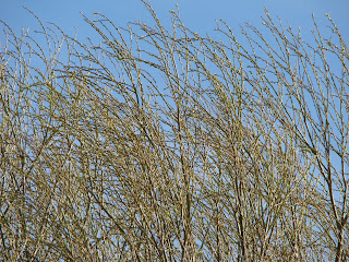 Chinese Willow tree