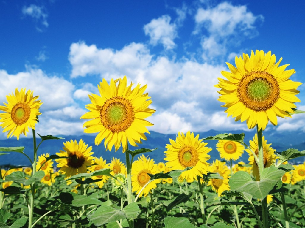 Beautiful Sunflowers Wallpaper