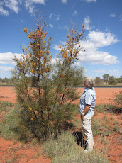 Grevillea heaven on the Tanami