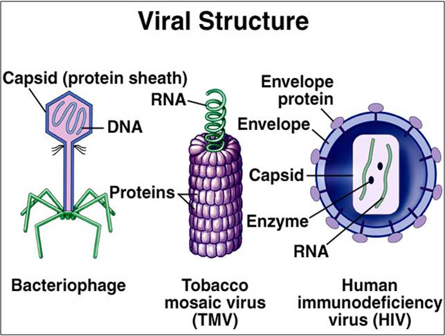 Introduction History Of Viruses on Describe The Life Cycle Of A Plant