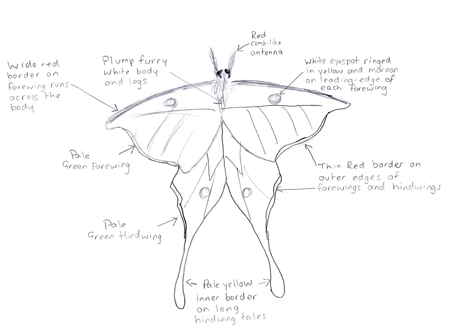Conor\'s Blog: Lunar Moth Research - Anatomy Project