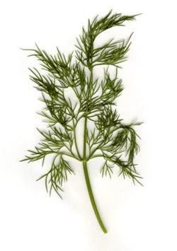 Dereotunun Faydaları Şifalı Bitkiler