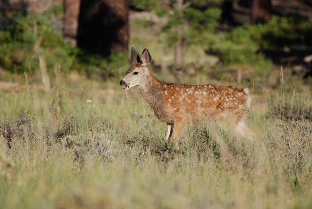 Bambi al Bryce Canyon