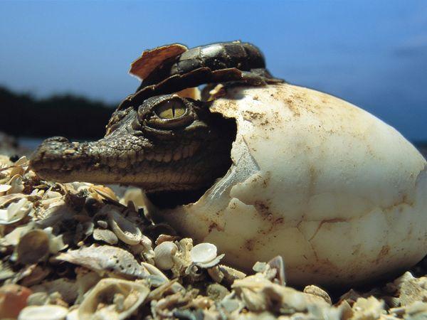 Animal Baby Crocodile