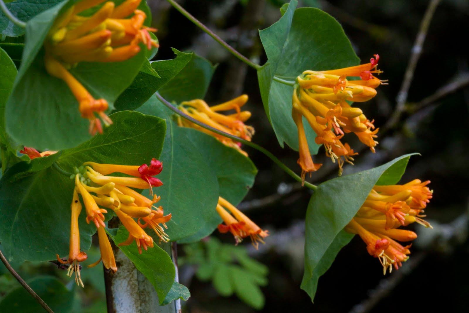 NWflora Orange Honeysuckle Lonicera ciliosa