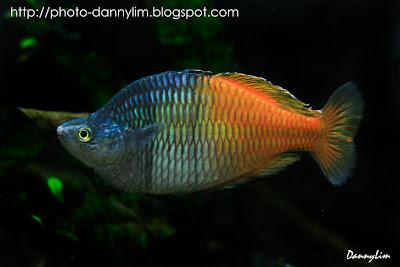 Dannylim Rainbow Fish