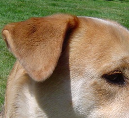 Dog Bites Behind Other Dogs Ears