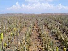 Floración de Aloe vera en el Oriente de Venezuela