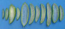 Variabilidad de ancho y espesor foliar