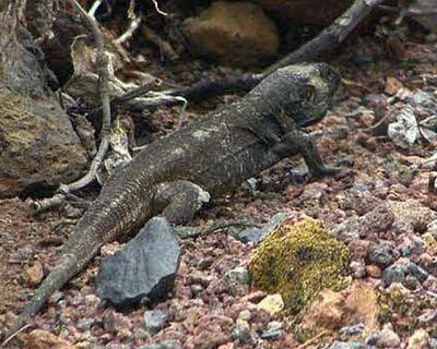 http://3.bp.blogspot.com/_xubYbHx7_30/S2bZbOIWmDI/AAAAAAAAACQ/Devij10ByV8/s400/La-Palma-giant-lizard.jpg
