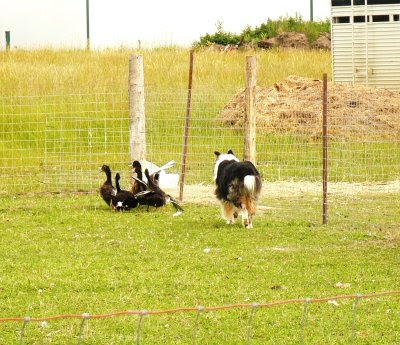 ckc sheep herding trials