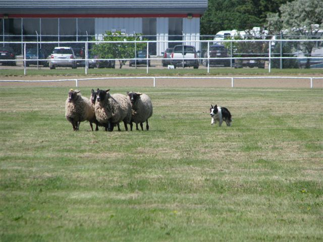 scottish highland games arlington tx sheepdog