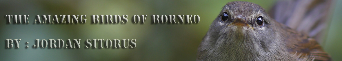 amazing birds of borneo