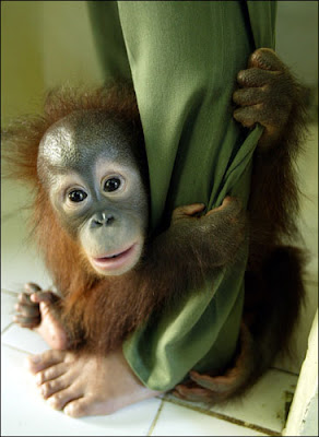 gorgeous photo of orangutan youngster hugging and cuddling a leg