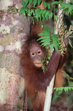 orangutan pictures hanging around in a tree