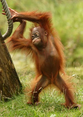 great photo of orangutan having a stretch