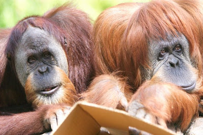 great photo of older orangutans who look like a married couple funny