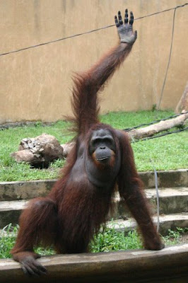 funny pic of waving orangutan at the zoo