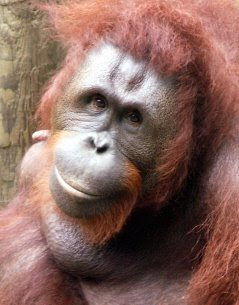 really sweet photo of orangutan posing for photo with smiling face