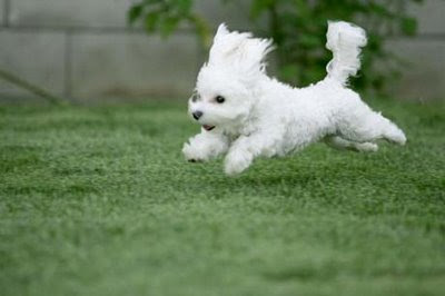 running bouncing happy maltese puppy
