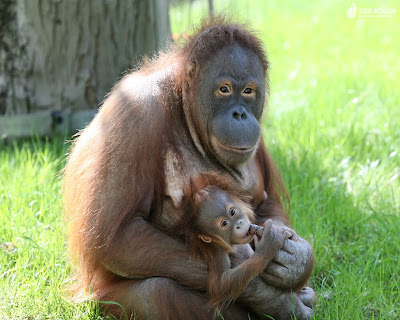 aww photo of really cute mother and child orangutan