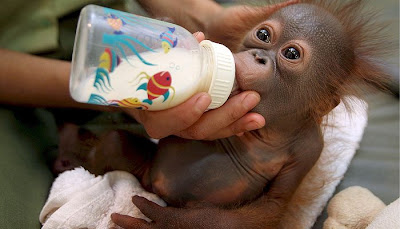 fantastic photo of cute young orangutan feeding on milk in baby bottle