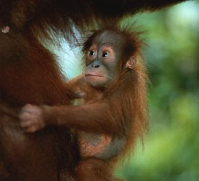 big eyes cute baby orangutan with mom