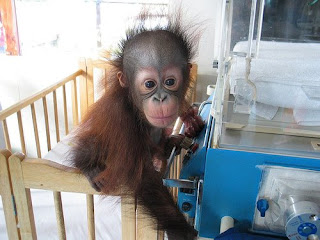 really cute photo of orangutam baby in hospital with humidicrib