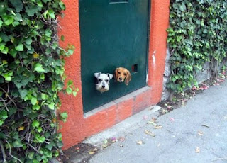 cute doggy door or doggy window beagle and terrier peeking through